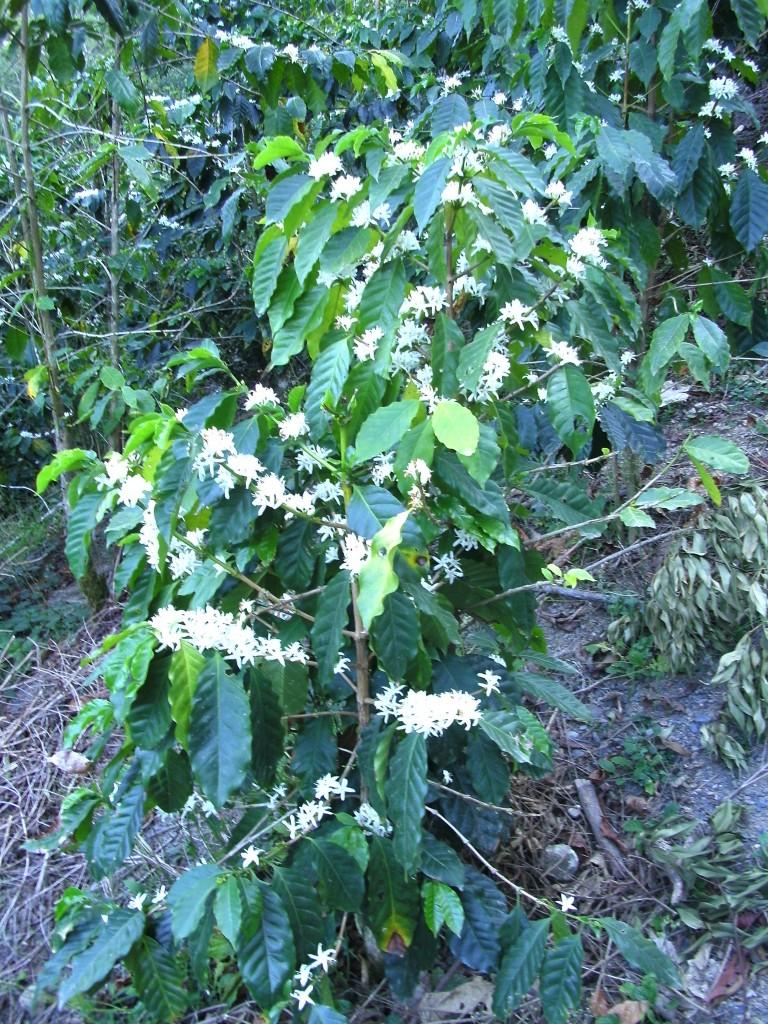 foto mata de café con flores zongozotla méxico fotopaises com