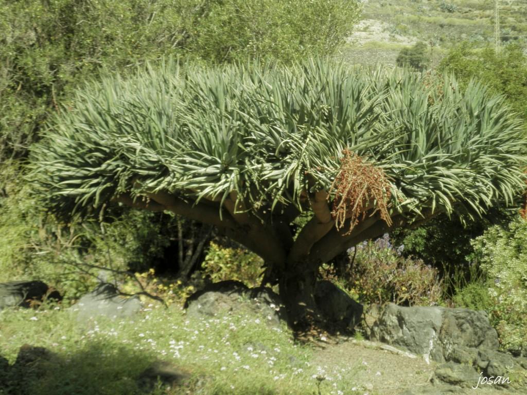 Foto jardin canario las palmas de gran canarias las - Fotografia las palmas ...