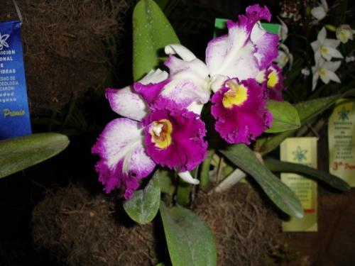 flor nacional taiwan:
